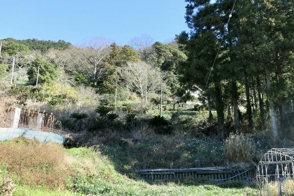 水仙の咲く里山