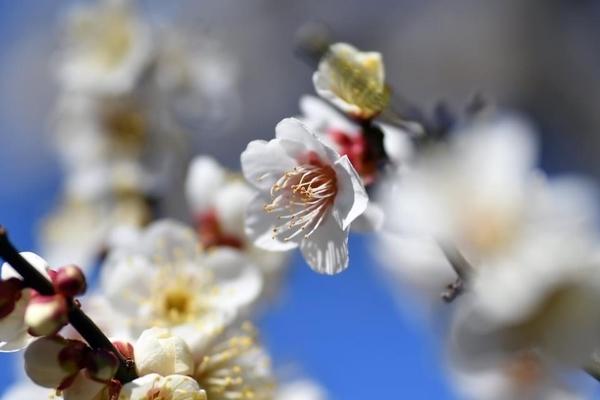 習志野梅林園の梅10
