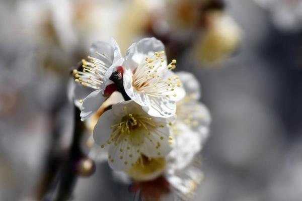 習志野梅林園の梅8