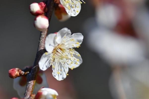 習志野梅林園の梅7