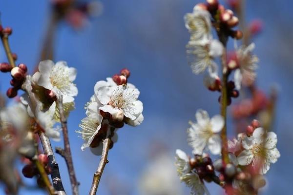 習志野梅林園の梅2