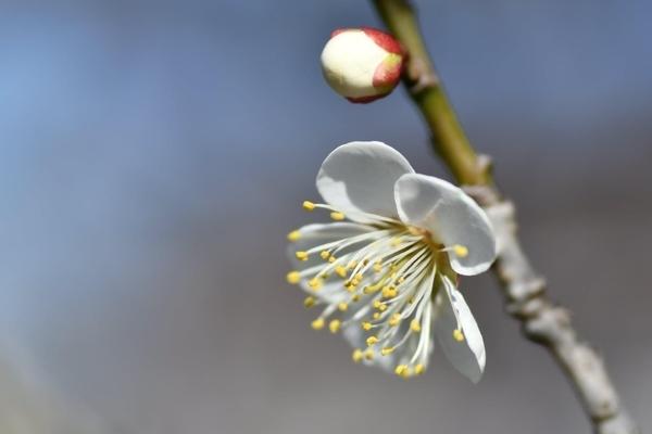 習志野梅林園の梅3