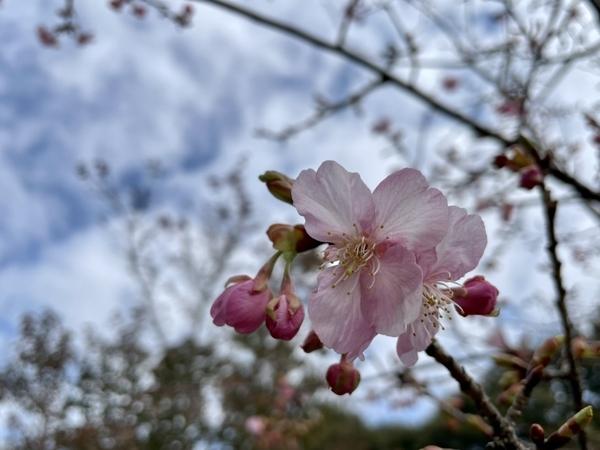 霊園の河津桜