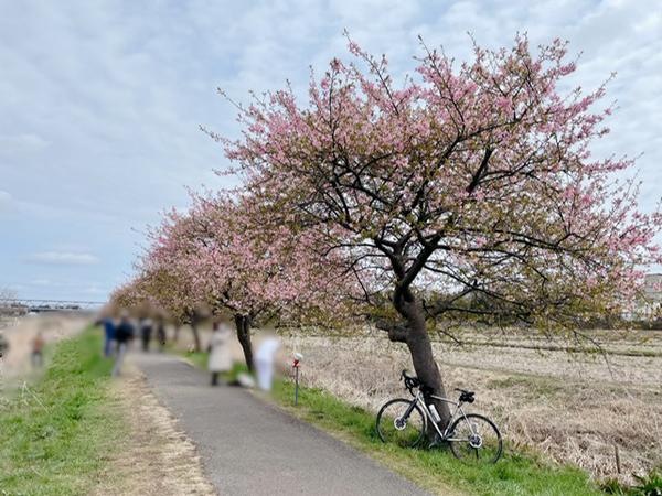 新川千本桜とパナチタン