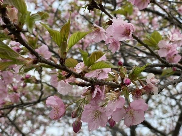 葉桜の河津桜2