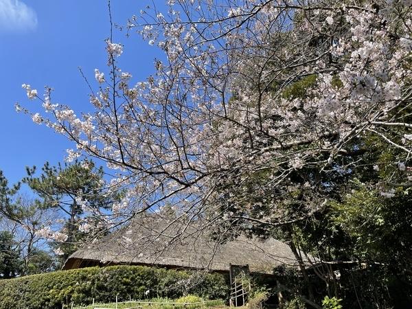 藤崎森林公園の桜
