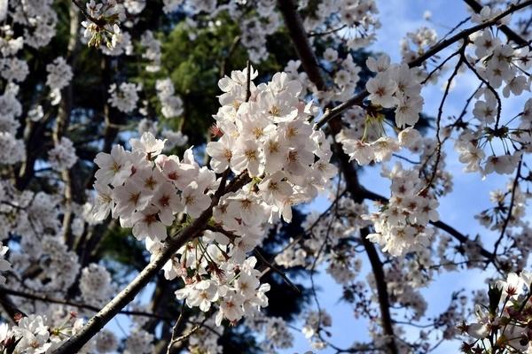 習志野の桜4