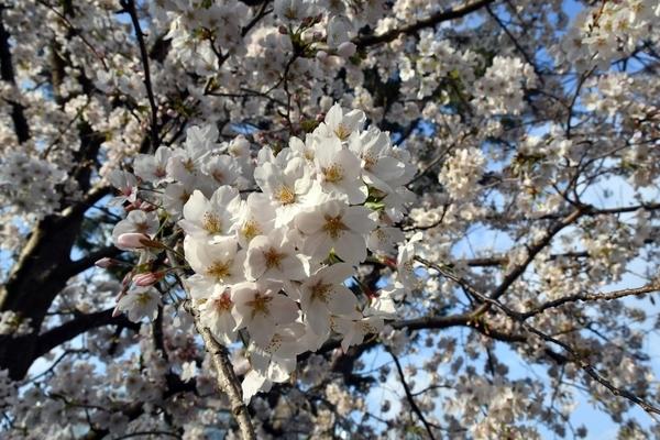 習志野の桜2