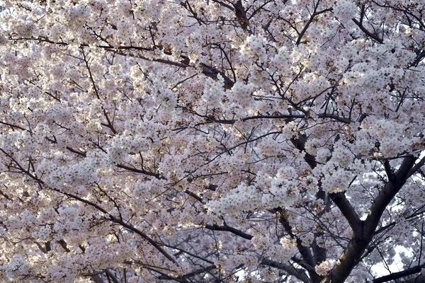 習志野の桜3