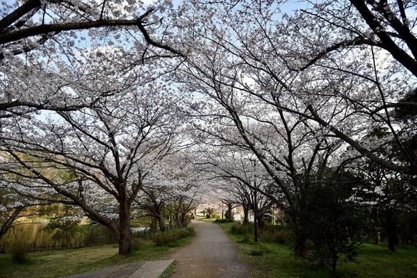 習志野の桜5
