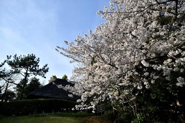 習志野の桜8