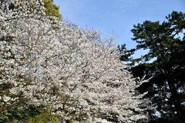 習志野の桜7