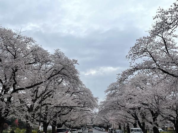 小林牧場の桜5