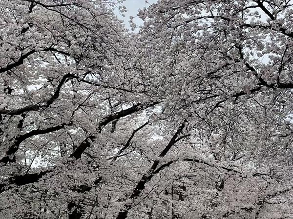 小林牧場の桜4