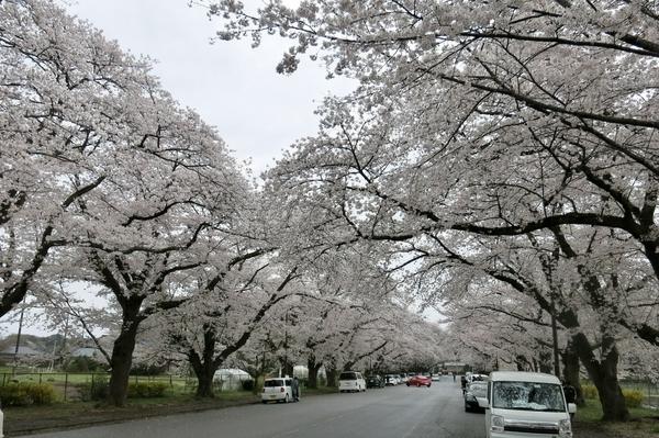 小林牧場の桜3