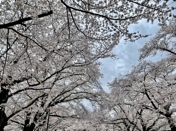 小林牧場の桜2