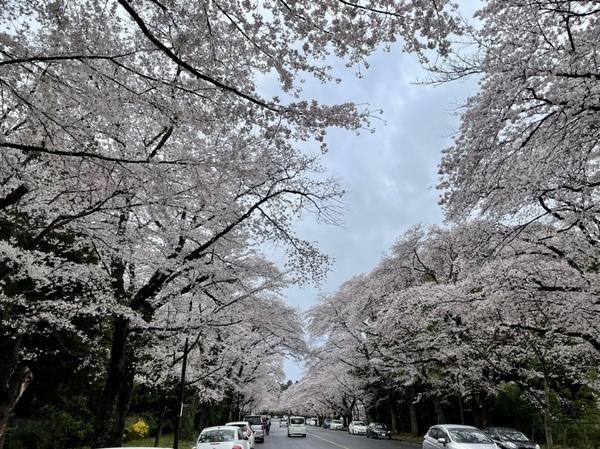 小林牧場の桜1