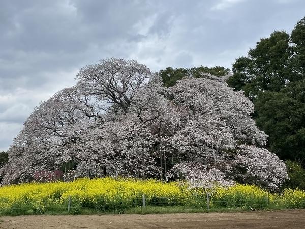 吉高の大桜9