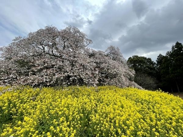 吉高の大桜8