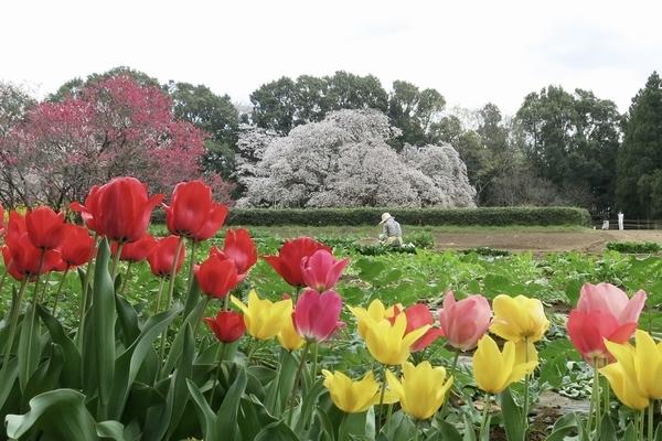 チューリップと吉高の大桜