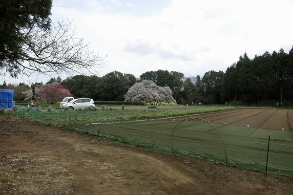 吉高の大桜が見えた