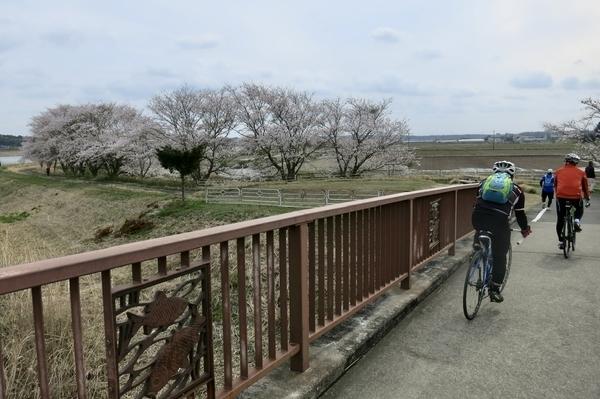 新川沿いのソメイヨシノ2