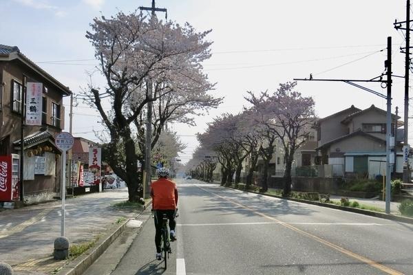 新川大橋通りの桜並木