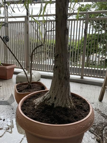 植え替えた観葉植物