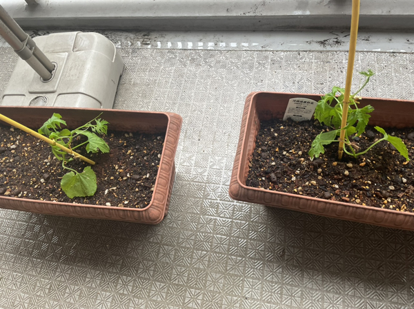 プランターに苗を植える1