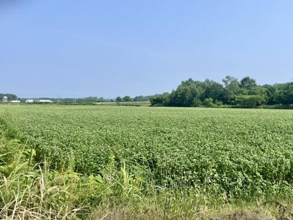 新得の蕎麦畑