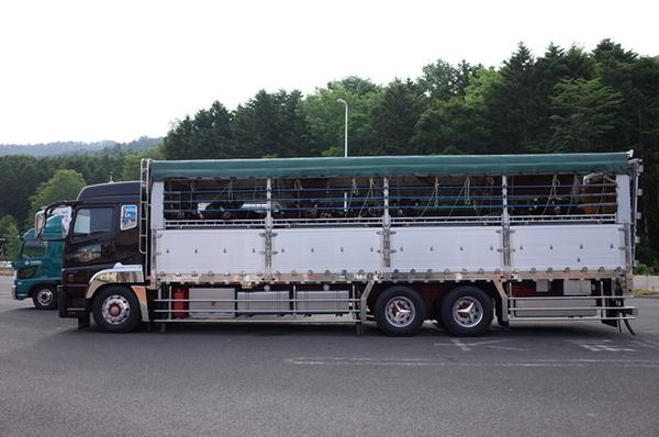 牛を積んだトラック