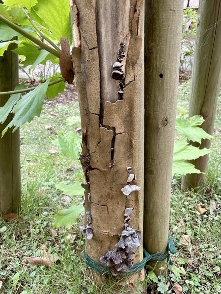 マンションの庭の木のキノコ