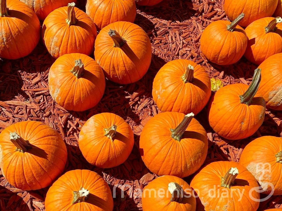 たくさん並んだかぼちゃ