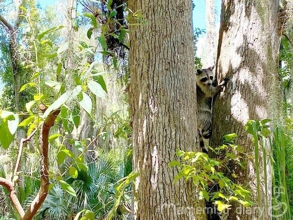 野生のアライグマ