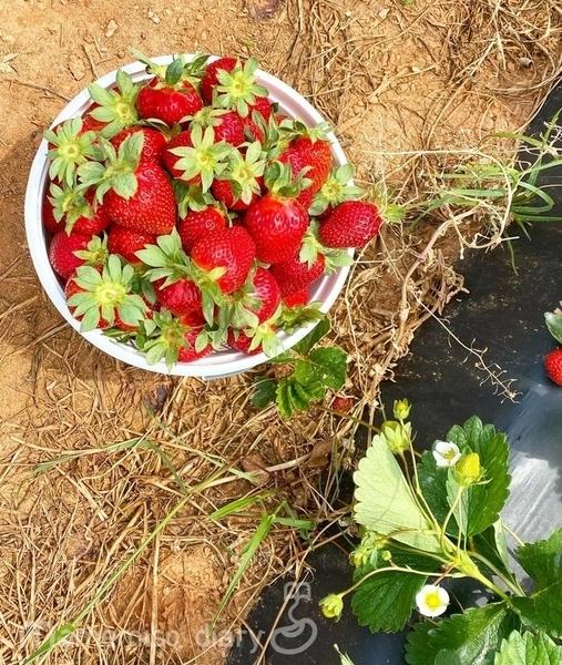 収穫した苺