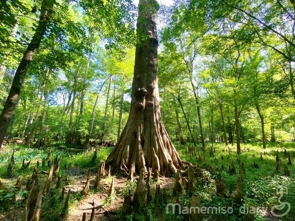 大きなbald cypress