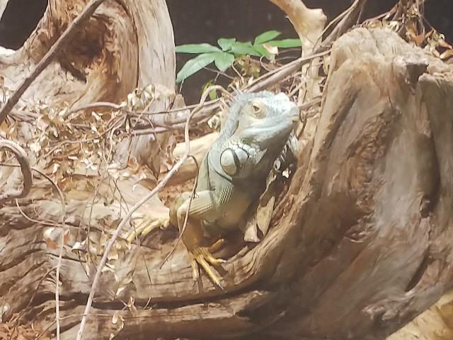 カワスイのイグアナ