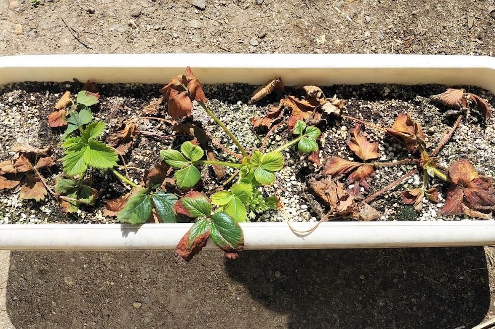 方 イチゴ の 苗 の 植え