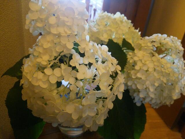 今日の玄関の花 2016年6月24日 あじさい アナベル画像