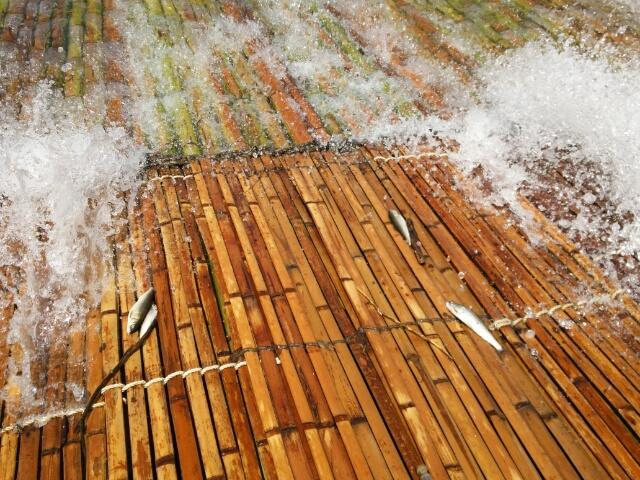 岐阜県郡上市苅安ヤナのやな場の打ち上げられた天然鮎画像