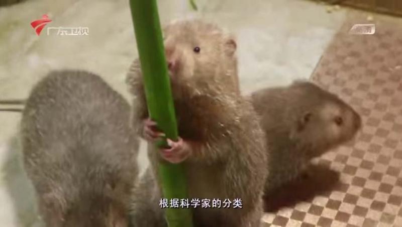中国 ネズミ の 踊り 食い