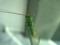 [insect][脈翅目 | Neuroptera]July, 2008 - クモンクサカゲロウ(C. formosa)