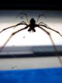 [insect][蛛形綱 | Arachnida]アシナガグモ