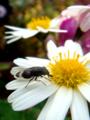 [insect][双翅目 | Diptera]