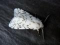 [insect][moth][鱗翅目 | Lepidoptera]May, 2010 - キハラゴマダラヒトリ(多分