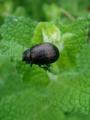[insect][鞘翅目 | Coleoptera] June, 2010 - ハッカハムシ