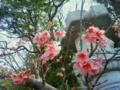 名護城(なんぐしく)の桜祭りへ父と出向いた