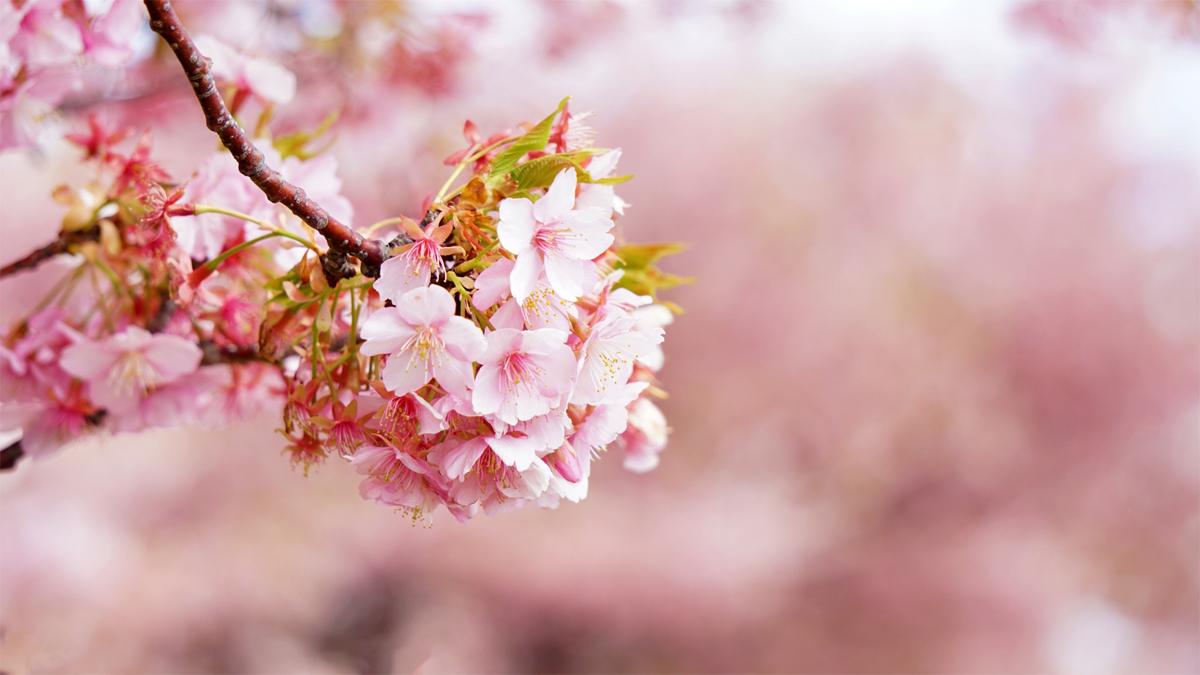 お花見で使える英語表現
