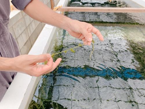 海ぶどう養殖場,海ん道,Uminchi, 海ぶどうの茎