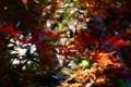 京都新聞写真コンテスト 紅葉イルミネーション